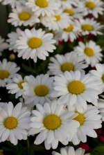 Leucanthemum 'Darling Daisy'