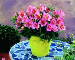 Alstroemeria 'Princess Lilies Theresa'