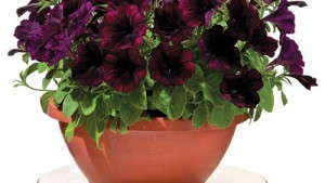 Good And Plenty Petunias From Green Fuse Botanicals