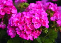 'Americana Pink' geranium from Syngenta