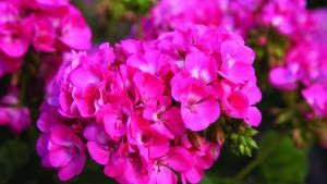 Callused Geranium Cuttings: Tips For Successful Rooting