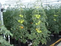 Greenhouse Tomato Training