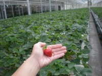 Greenhouse Strawberries