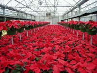 Greenhouse Poinsettia Crop