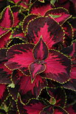 Coleus 'Chocolate Covered Cherry' from PanAmerican Seed