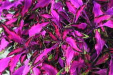 Coleus 'Luminesce' from Ecke