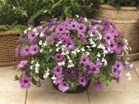 Syngenta Flowers' Kwik Kombos Grape Expectations