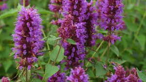 Agastache In The Landscape