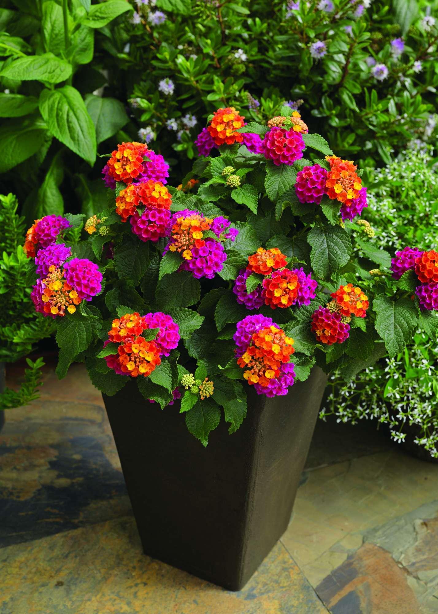 Lantana Production Tips Greenhouse Grower