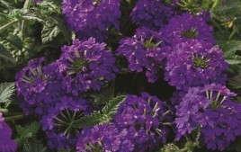 Spring Production Of Tapien and Temari Verbenas