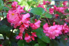 Begonia 'Whopper Rose with Green Leaf' at Pike Creek trials