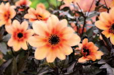 Dahlia 'Mystic Memories Antique'
