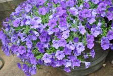 Petunia 'Sanguna Light Blue'