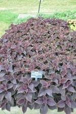 Solenostemon (Coleus) 'Vino' at Reiman Gardens, Iowa State University
