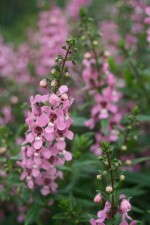 Angelonia 'Serenita Lavender Pink' at the University of Tennessee trials