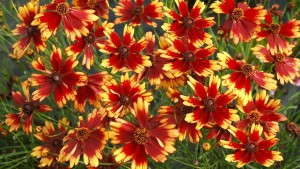 How To Grow Coreopsis