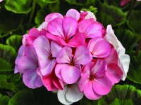 AAS Winner Geranium 'Pinto Premium White To Rose'