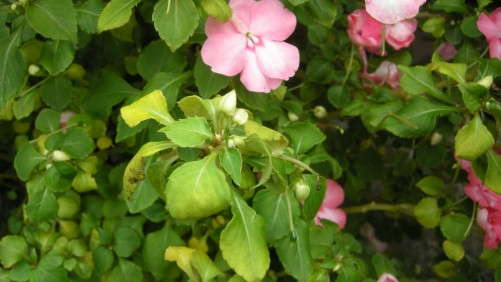 Prevention Measures For Impatiens Downy Mildew Start At Plug Production, Chase Says