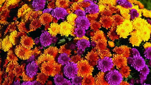 How To Create Vibrant Mum Combinations