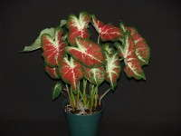 Caladium 'Creamsickle'