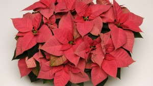 The State Of The Poinsettia Market