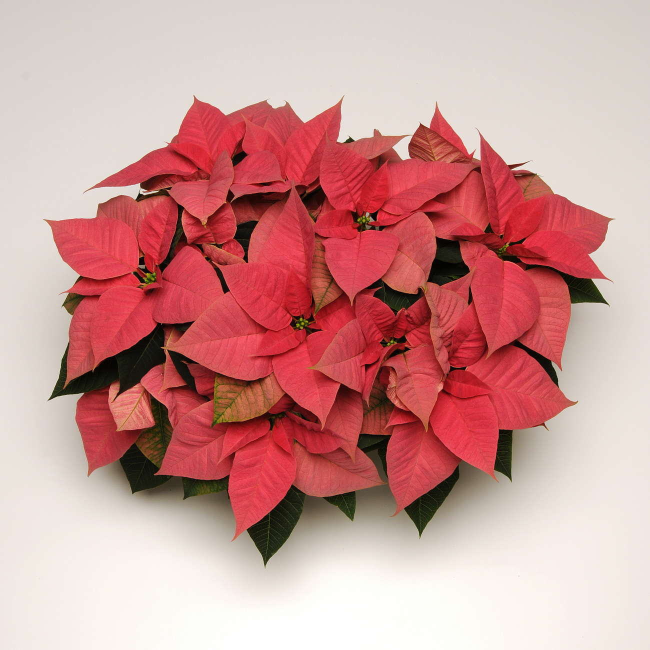 The State Of The Poinsettia Market Greenhouse Grower