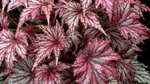 Terra Nova Nurseries Introduces New Heuchera And Begonia Series