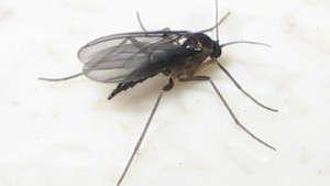 Greenhouse Pests 101: Fungus Gnats