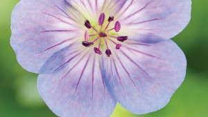 All About Geranium 'Azure Rush'