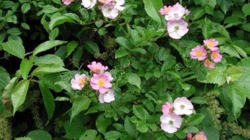Reducing The Spread Of Rose Rosette Disease