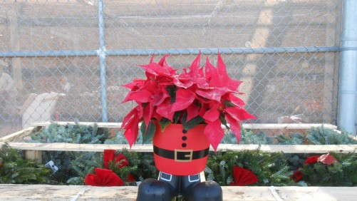 2012 Poinsettia Sales At Big Box Stores