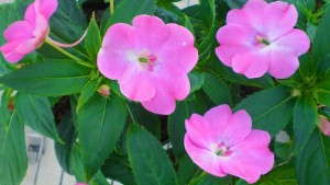 Redesigned SunPatiens Website Offers New Tools For Sakata Seed America Customers