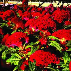 Celosia 'Twisted' from Ball Ingenuity