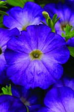 Petunia 'Flash Mob Bluerific' from Burpee Home Gardens