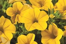 Calibrachoa 'Cruze Yellow' from Green Fuse Botanicals