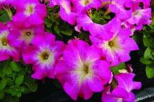Petunia 'Limbo *GP* Rose Morn' from Hem Genetics