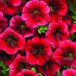 Calibrachoa 'Superbells Pomegranate Punch'