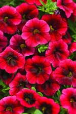 Calibrachoa 'Superbells Pomegranate Punch' from Proven Winners