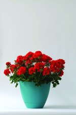 Geranium 'Double Take Scarlet' from Selecta
