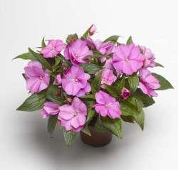 New Guinea Impatiens 'Florific Lavender' from Syngenta