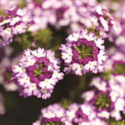 Verbena 'Lanai Twister Purple' from Syngenta