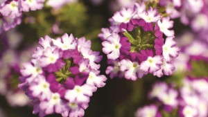 Syngenta Adds 'Twister Red' and 'Twister Purple' To Verbena Lanai Series