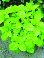 'Green Fortune' Basil