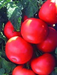 'Biltmore' Tomato