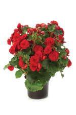 Begonia elatior 'Vermilion Red'