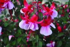 Fuchsia 'Windchimes Upright Red and White'