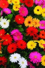 Gerbera Revolution Select Mixture