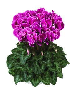 Cyclamen 'Halios Curly Magenta With Edge'