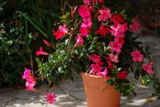 Mandevilla 'Sun Parasol Pretty Deep Pink'