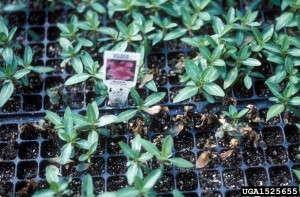 Phytophthora on vinca seedlings. Photo: Dept. of Plant Pathology Archive, North Carolina State University, Bugwood.org